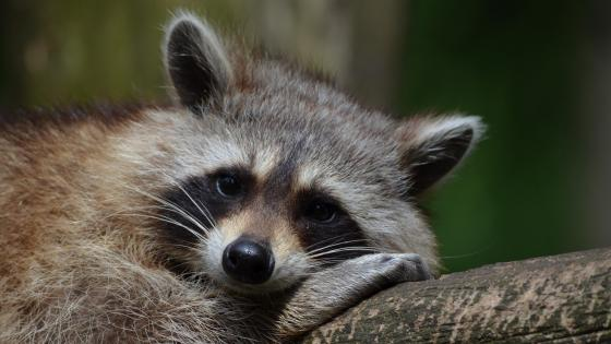 Cute raccoon wallpaper