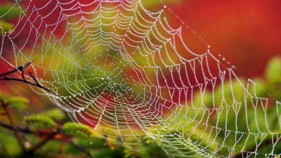 Dew drops on the spider web wallpaper