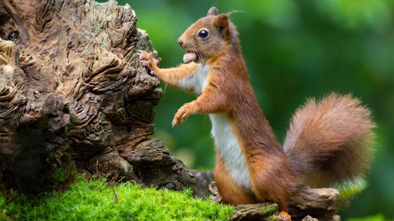 Squirrel with a nut wallpaper