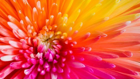 Colorful flower macro photo wallpaper