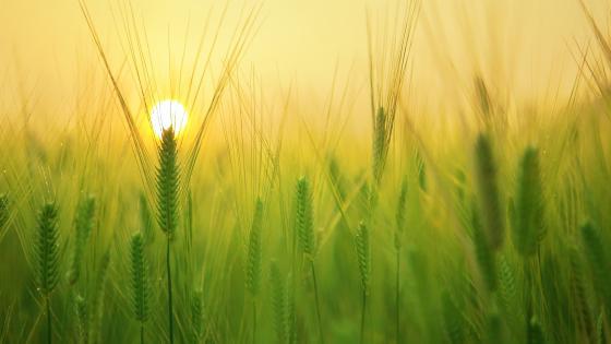 Barley field at sunrise wallpaper