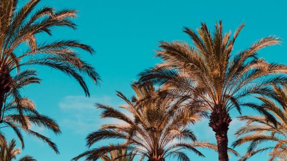 Blue sky with palm trees wallpaper