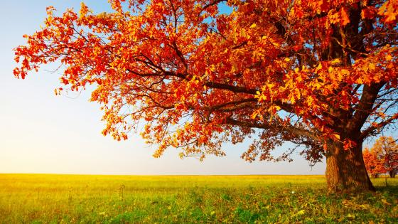 Lone tree at fall wallpaper
