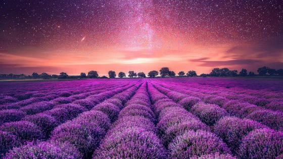 Purple lavender field wallpaper