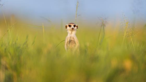 Meerkat in the grass wallpaper