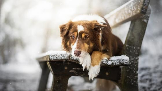 Brown and white Border Collie on a bench wallpaper