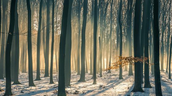 Beech forest in winter wallpaper
