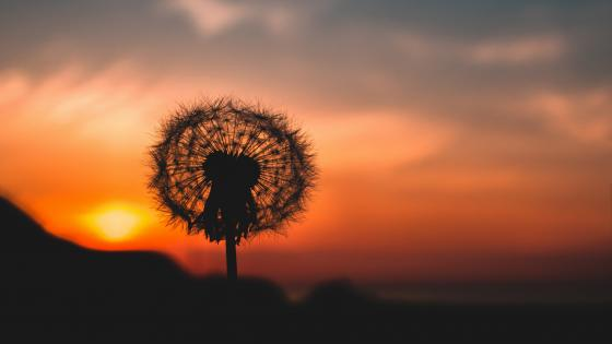 Dandelion flower silhouette in the sunset wallpaper
