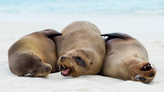 Galápagos sea lions wallpaper