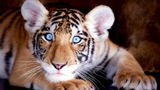 Tiger cub with blue wyes wallpaper