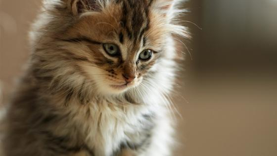 Cute fluffy kitty wallpaper