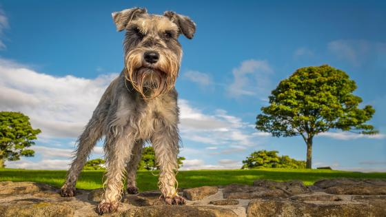 Miniature Schnauzer wallpaper