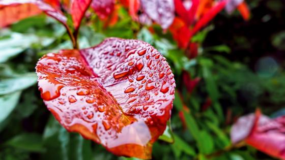 Raindrops on a red leaf wallpaper