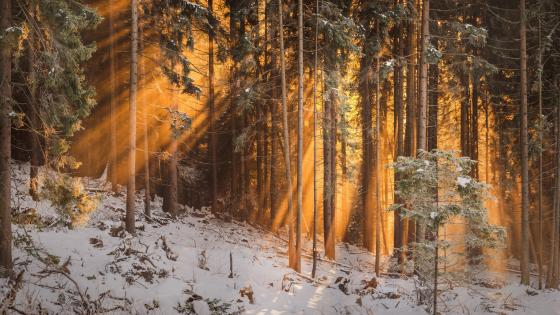 Orange sun rays in the snowy forest wallpaper