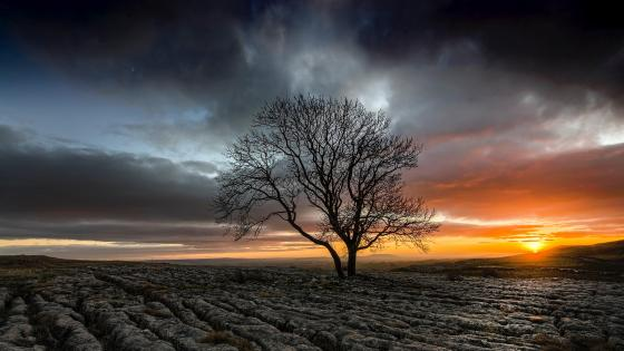 Lonely tree in a drought field at sunset wallpaper