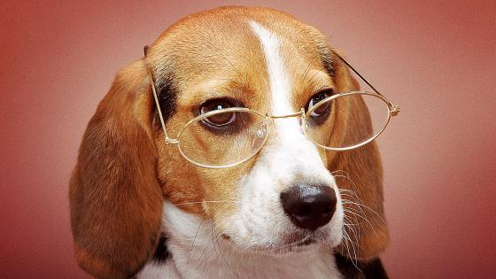 Beagle with glasses wallpaper