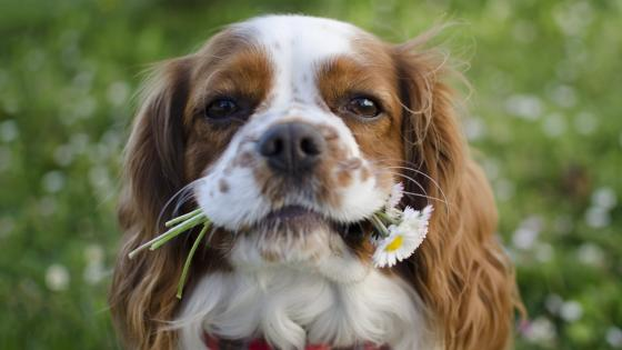 Cavalier King Charles Spaniel with flowers in his mouth wallpaper