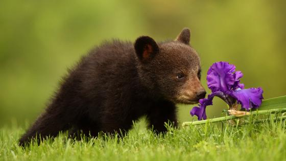 Bear cub smelling an Iris flower wallpaper