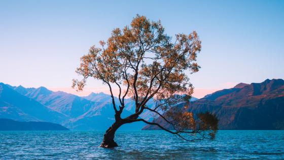 Lone tree of Lake Wanaka wallpaper