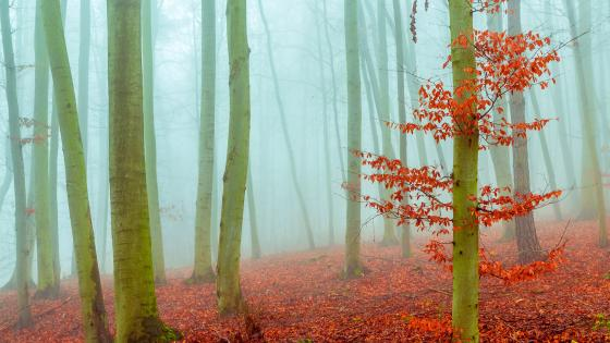 Red leaves in the fog wallpaper