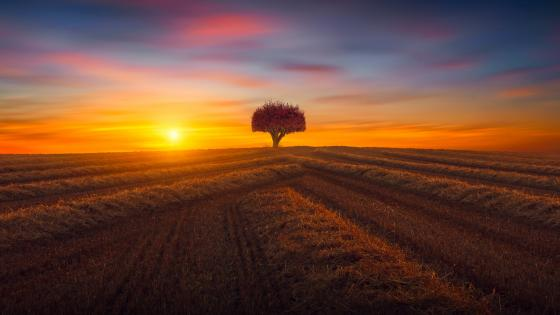 Lone tree in the field at sunset wallpaper