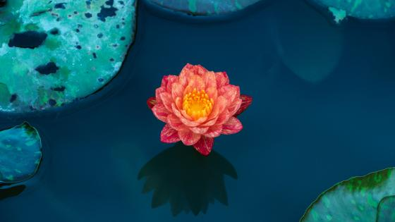 Beautiful lotus flower wallpaper