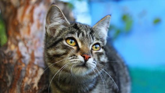 Gazing cat wallpaper
