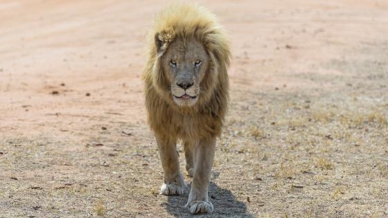 Masai lion 🦁 wallpaper