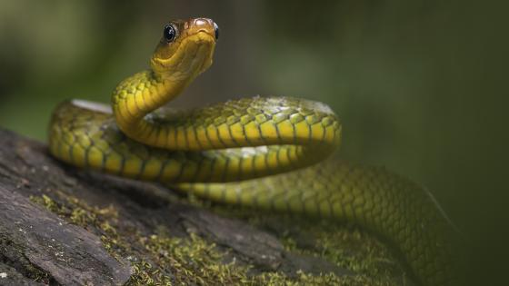 Western green mamba wallpaper