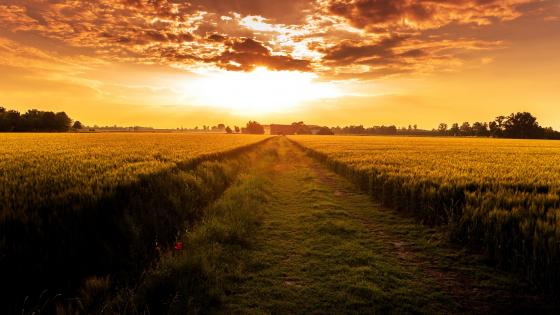 Sunset over the crop field wallpaper