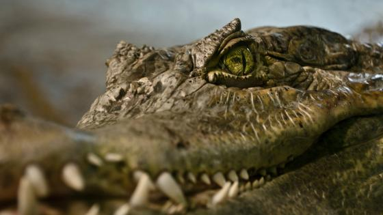 Close up crocodile wallpaper