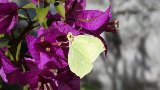 Butterfly on bougainvillea wallpaper