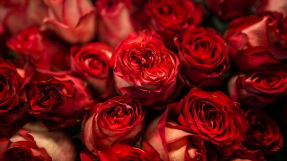 Red roses wallpaper