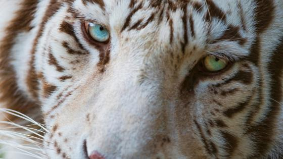 Tiger with heterochromia wallpaper