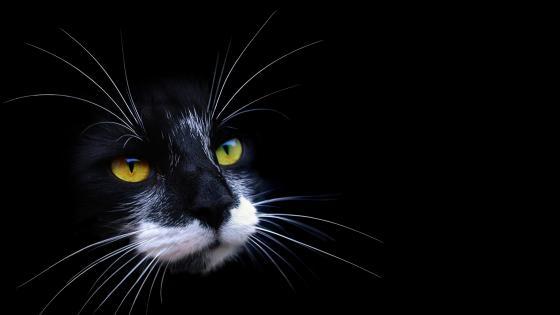Black kitten wallpaper
