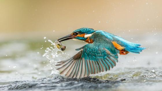 Kingfisher wallpaper