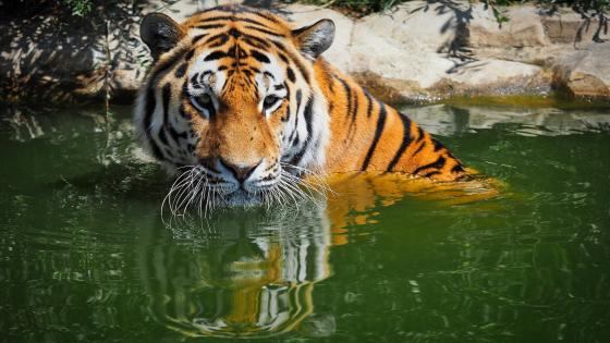 Tiger in the water wallpaper