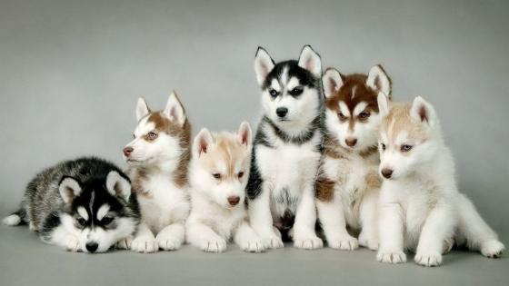 Huskies wallpaper