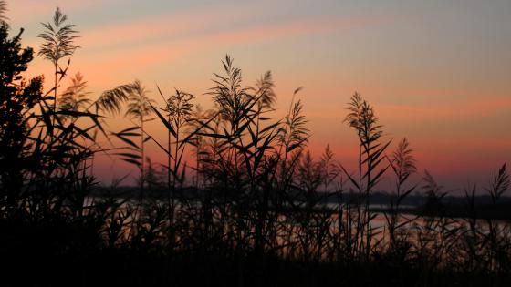 Reeds in the sunset wallpaper