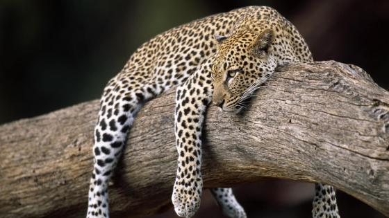 Lazy Leopard wallpaper