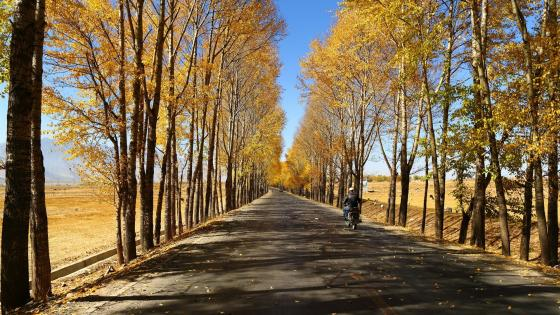 Gansu Corridor tree lane at fall wallpaper