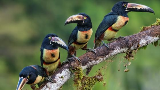 Collared aracari birds wallpaper