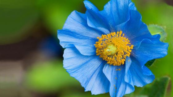 Blue Poppy of the Himalayas wallpaper