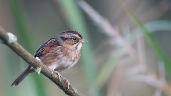 Swamp Sparrow wallpaper