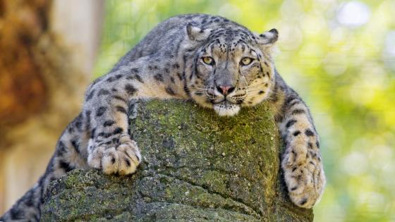 Snow leopard lying on a rock wallpaper