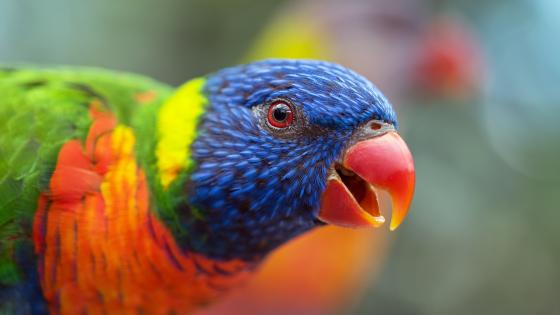 Colorful Lory wallpaper