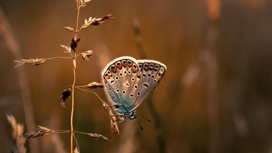 Common blue butterfly wallpaper