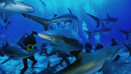 Divers among sharks wallpaper
