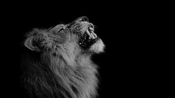 Lion - Monochrome image wallpaper