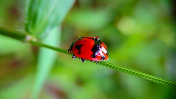 Ladybird on a grass halm wallpaper